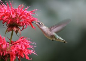 A female ruby-throated hummingbird. Photo by Cindy Mead.