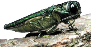 An emerald ash borer. Photo courtesy of Wikimedia Commons