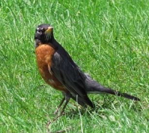 american robin - taran rampersad