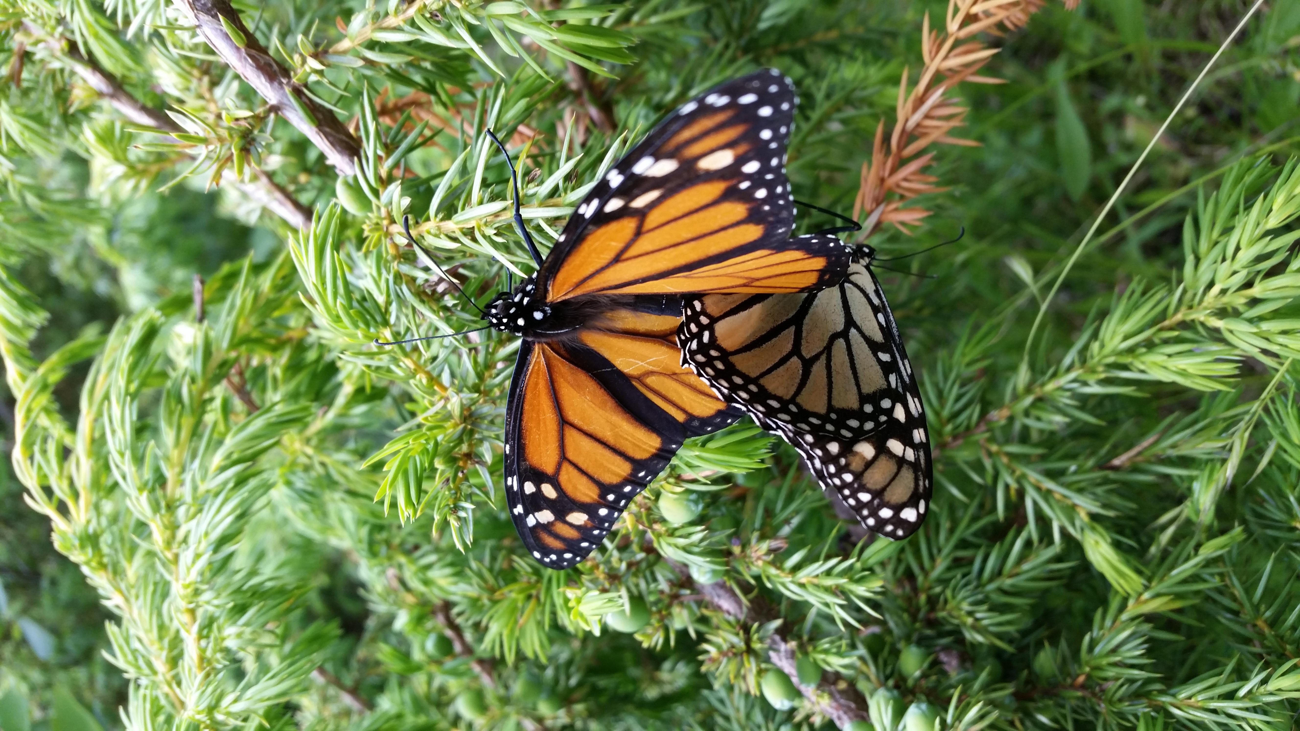 monarchs at Fred Dye by Adrienne Bozic